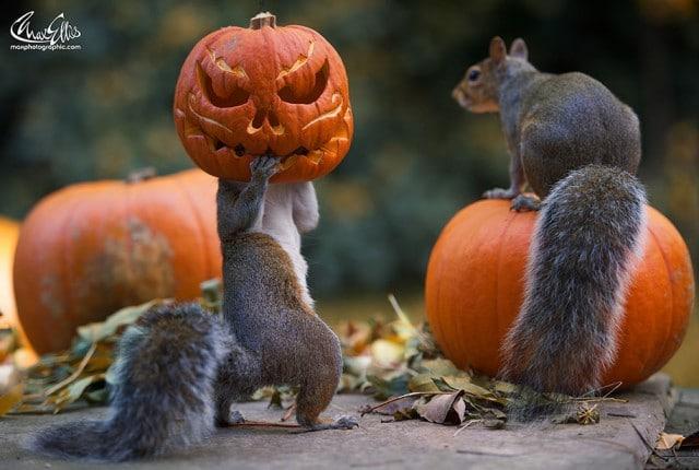 Beeindruckende Fotografien von Eichhörnchen mit Grusel-Kürbisköpfen